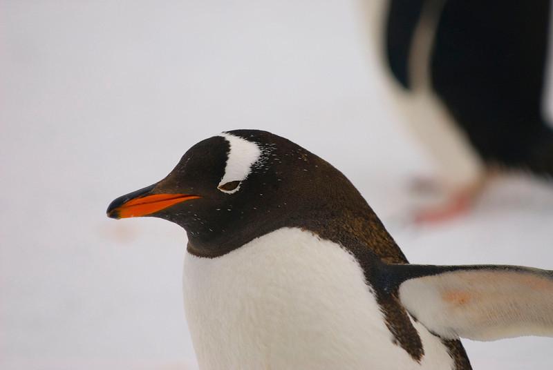 Southern Gentoo Penguin (Pygoscelis pygoscelis ellesworthi)