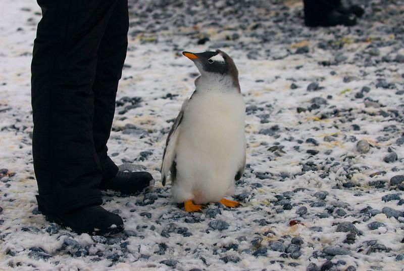 A Southern Gentoo Penguin (Juvenile) (Pygoscelis pygoscelis ellesworthi) observing a Homo Sapiens