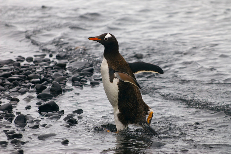 Southern Gentoo Penguin (Pygoscelis pygoscelis ellesworthi) returning from lunch