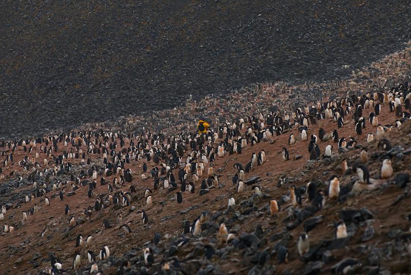 Adelie Penguin (Pygoscelis adeliae) Rookery