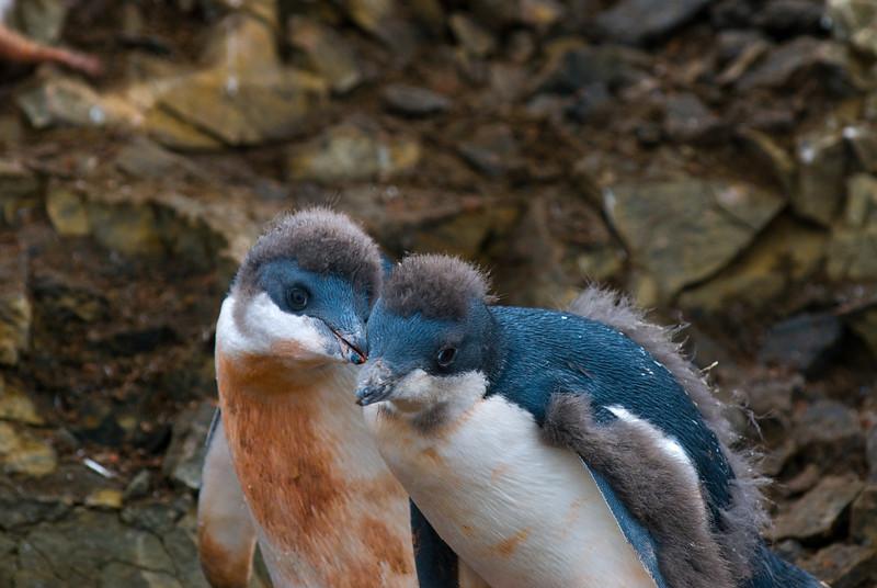 Adelie Penguins (Juvenile) (Pygoscelis adeliae)
