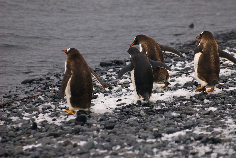 Southern Gentoo Penguins (Pygoscelis pygoscelis ellesworthi) going to lunch