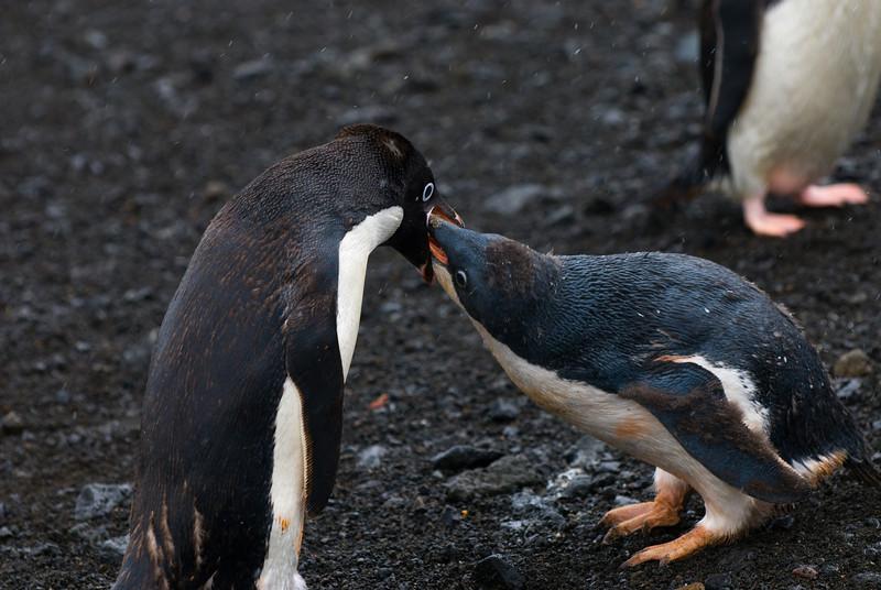 Adelie Penguin feeding her Chick (Pygoscelis adeliae)
