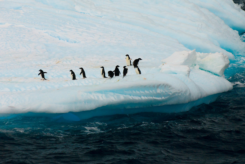 A group of Adelie Penguins on a small Iceberg
