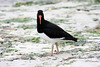 oyster catcher on the beach