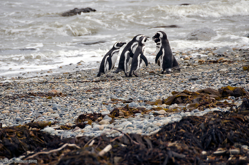A group of Magellanic penguins on the beach at Seno Otway (Otway Sound) near Punta Arenas, Chile.