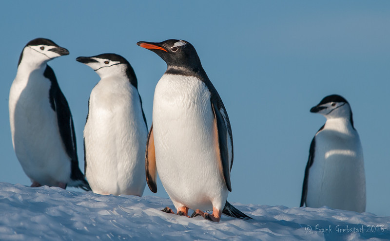 Gentoo and Chinstrap Penguins