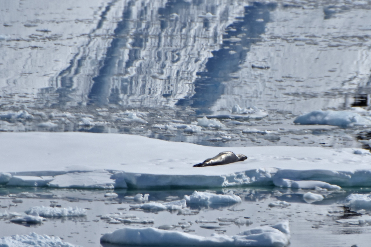 Leopard Seal Sunbathing
