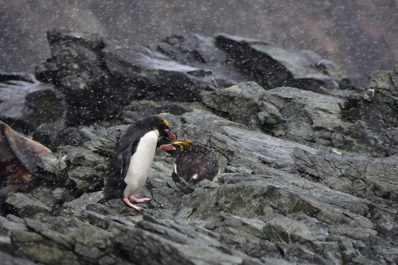 Macaroni Penguins near Elephant Island, South Georgia