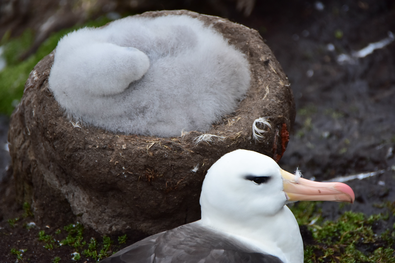 Albatross and chick, West End Island, Falklands