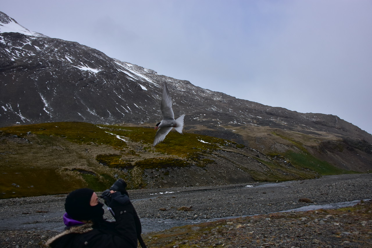 Arctic Tern Closing In