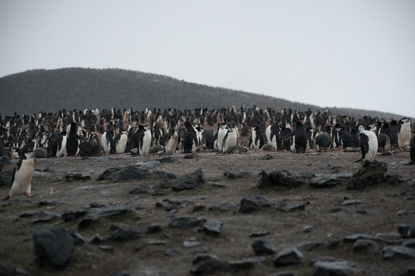 The hill behind is covered with penguins!!!