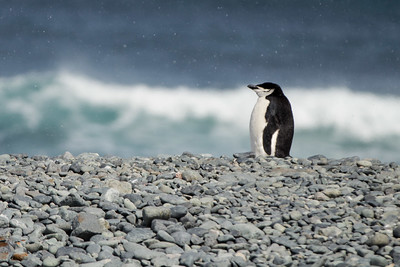 Lone pondering Chinstrap Penguin