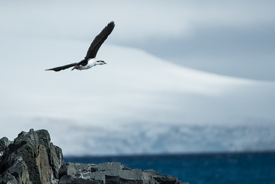 Shag in flight.