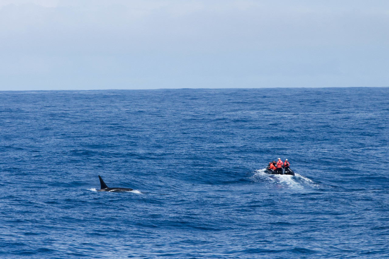 Type D Killer whales