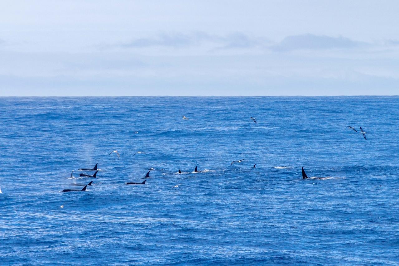 Pod of Type D Killer Whales
