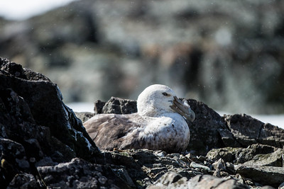 Giant Southern Petrel 2