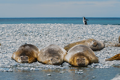 Elephant Seals and Chinstrap Penguin