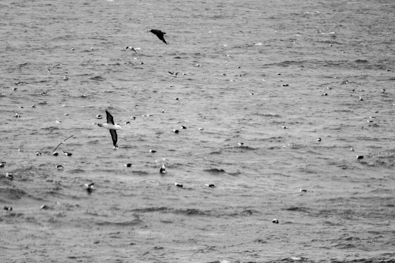 Gulls and Albatross