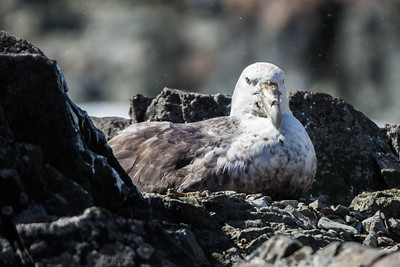 Giant Southern Petrel