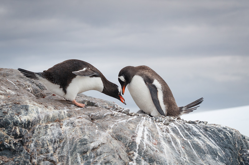 Stones are valuable as nesting material, and males present them proudly to their partners