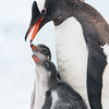 Gentoos are the third largest penguin and they are unmistakable