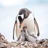 Gentoo penguins lay two eggs which hatch after about 35 days