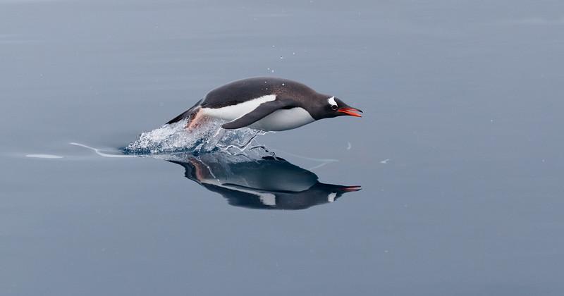 Capturing a penguin porpoising is not an easy task