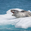 A serpentine body and reptilian head characterise Leopard Seals