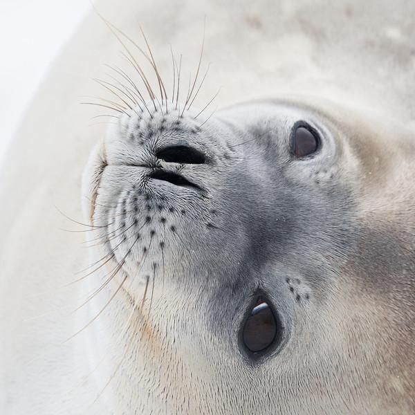 Weddell Seal portrait