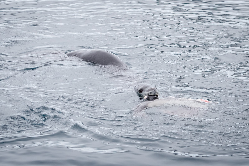 We encountered a Leopard Seal which had killed another seal, probably a juvenile Crabeater Seal