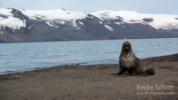 Deception island fur seal