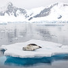 Resting on an ice floe in Paradise Harbour