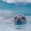 Curious Crabeater Seal