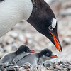 Penguins must be alert to the chicks' main threats - skuas, gulls and Giant Petrels