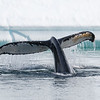 A Humpback Whale fluking in the Errera Channel
