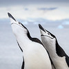 A displaying pair of Chinstrap Penguins, one parent had returned to take over chick duties