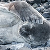 That Monday morning feeling?  A young Weddell Seal on Half Moon Island