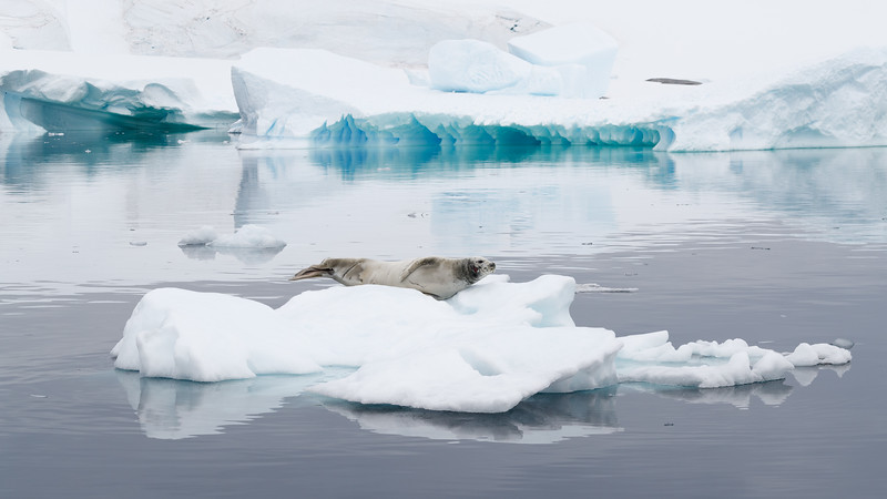 Crabeater Seals are the most numerous seals in Antarctic waters, and indeed in the world