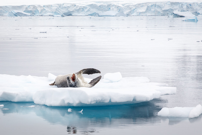 A Leopard Seal resting on ice in Paradise Harbour