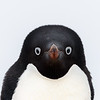 Adelie Penguins are one of only two true Antarctic penguins and they are feisty characters