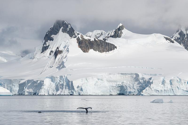 Humpback Whales in Wilhelmina Bay