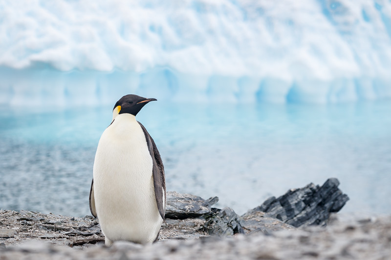 We were surprised to see an Emperor Penguin at the Bernardo O'Higgins base - what a treat