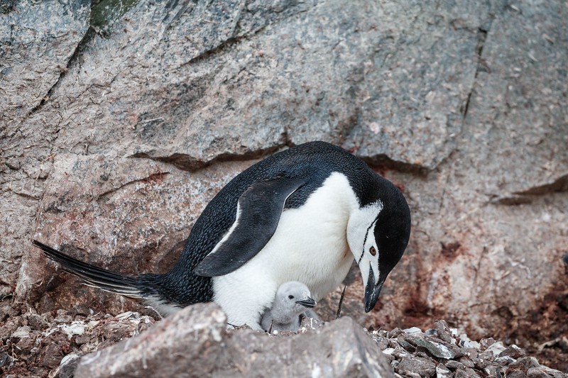 Chinstrap Penguin chicks are pale grey