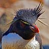 Rockhopper Penguin, Falklands