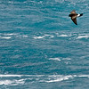 Wilson's Storm Petrel, most numerous bird in the world