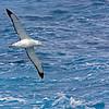Wandering Albatross, en route to S. Georgia Island