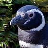 Magellanic Penguin, Falklands