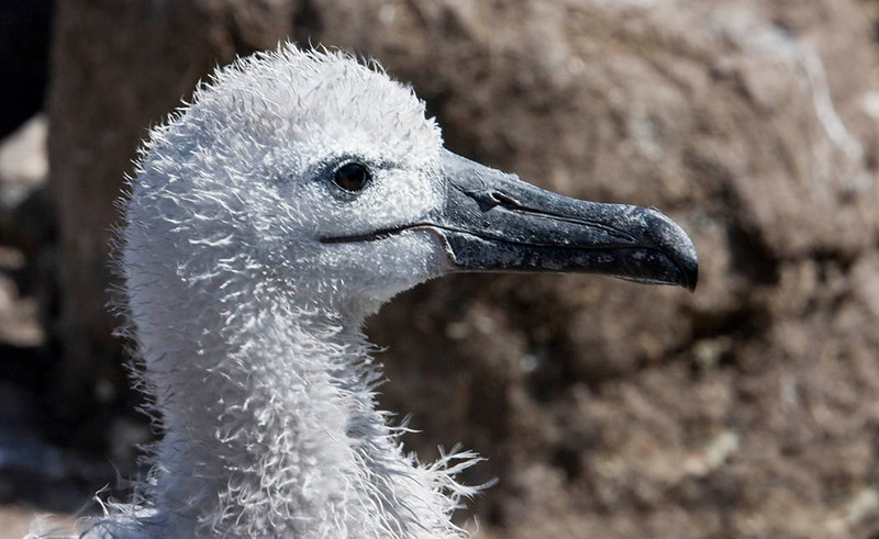 Juvenile Black-browed Albatross, Falklands
