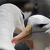 Black-browed Albatrosses allopreening, courtship behavior, Falklands